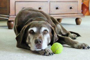 Dog Arthritis